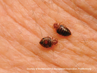 Insects Bed Bugs